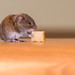 Mouse-eats-cheese portrait by Wouter's Wildlife Photography