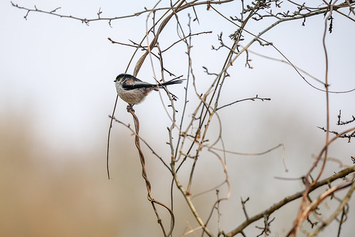 Long-tailed Tit/Staartmees