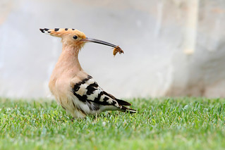 Hoopoe (Upupa epops) | by Wildlife Photography by Matt Latham