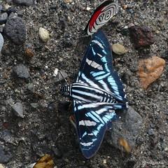 Skipper, Jemadia sp., Hesperiidae & 88 butterfly