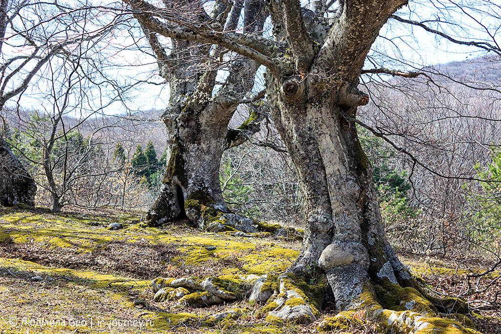 старые деревья в Крыму