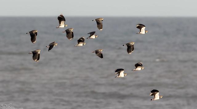 Lapwings at sea