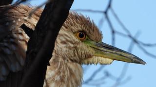 DSCN8859 Black-crowned Night Heron