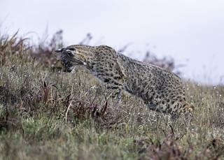 Bobcat - The Leap (Explored 12-10-18)