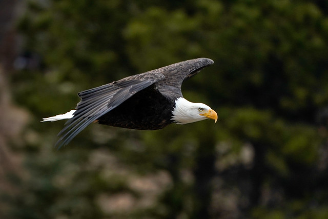 Bald Eagle - Flight [Explored]