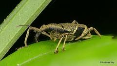Weevil, Epistrophus sp.? Curculionidae, Molytinae