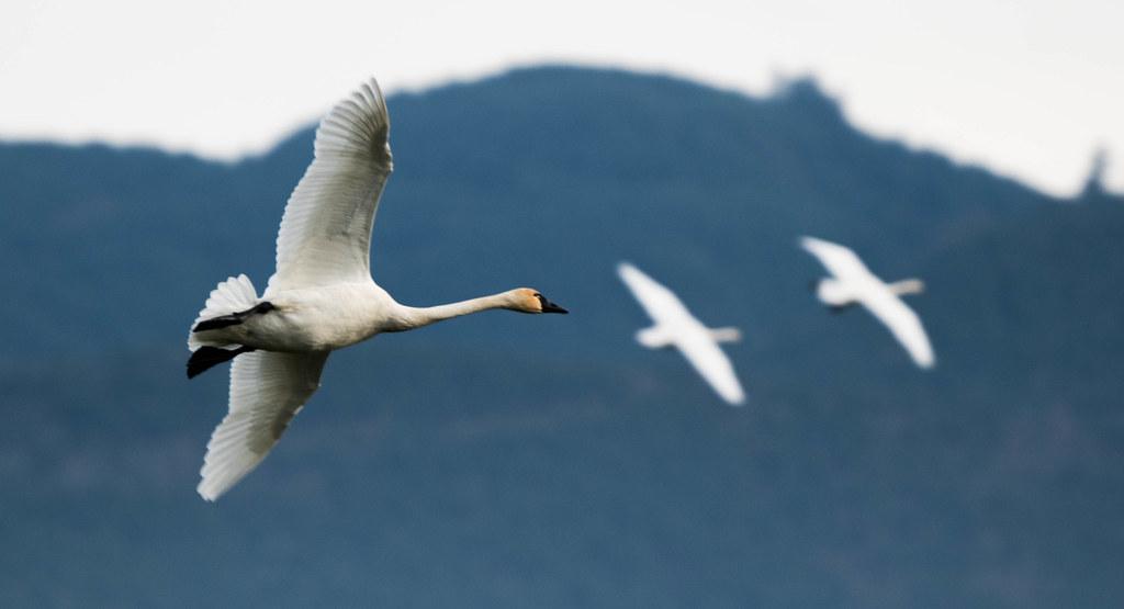 Swan 1 (1 of 1)