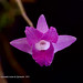 Dendrobium miyasakii Ames & Quisumb. 1931