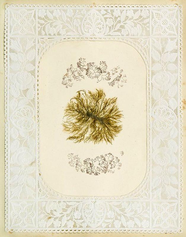 008-Album de algas marinas-1848- Brooklyn Museum Library