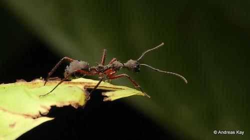 Hairy ant