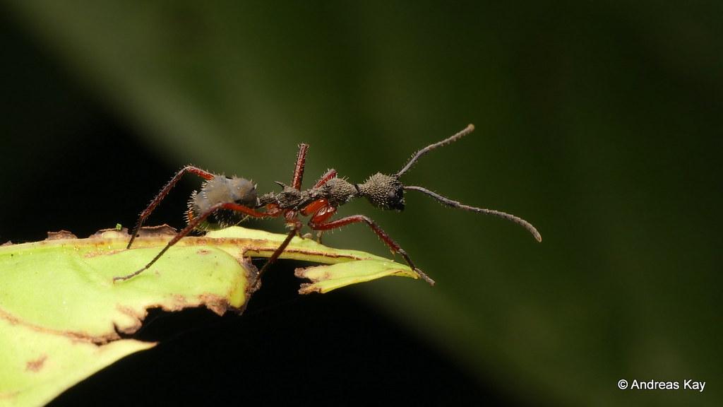 Hairy ant, Dolichoderus sp.