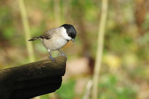 wild bird wildlife nature barnwellcountrypark northamptonshire woodland marshtit poecilepalustris