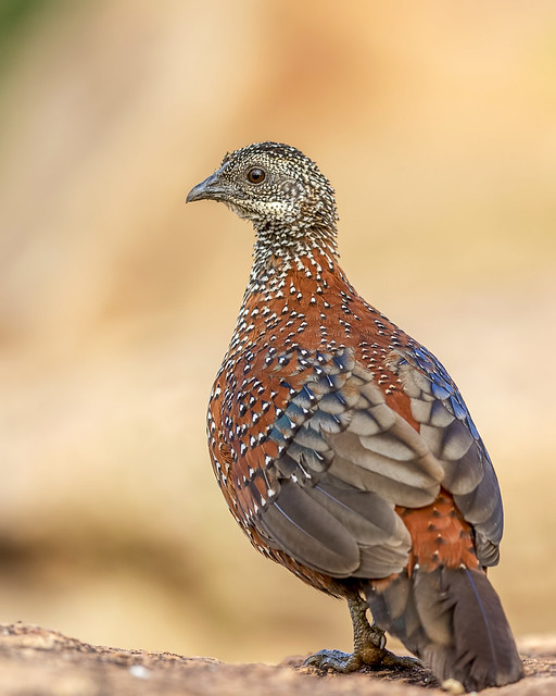 Painted Spurfowl, Canon EOS 7D MARK II, Canon EF 600mm f/4.0L IS II USM