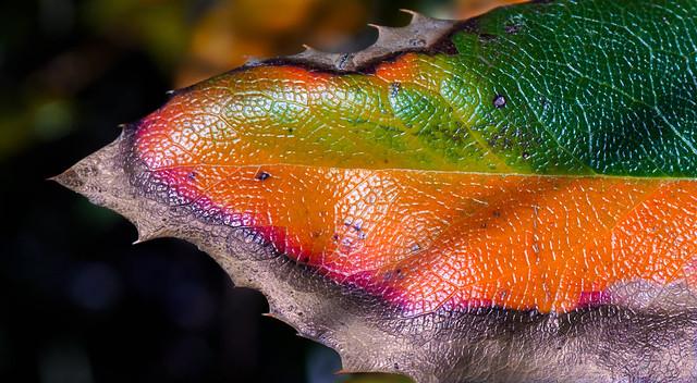 Oregon Grape leaf, Sony NEX-3N, E PZ 16-50mm F3.5-5.6 OSS