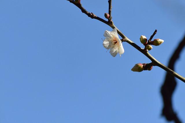 ウメ~セツゲッカ(雪月花)