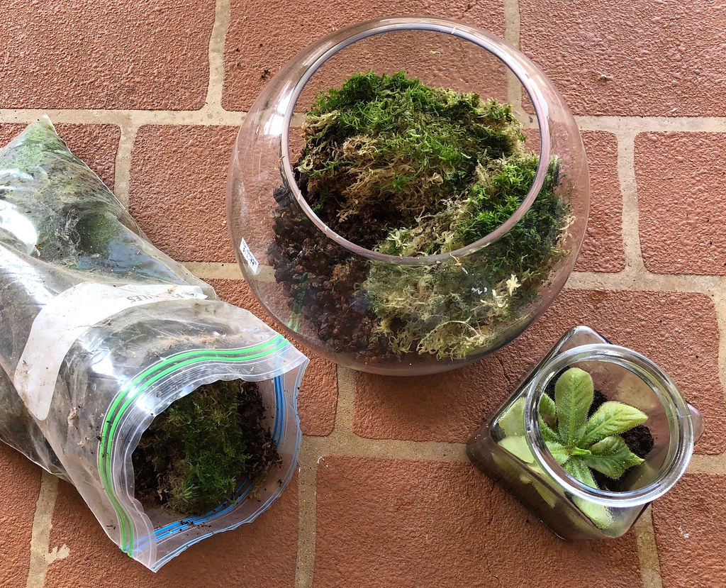 Setting a terrarium up for Drosera schizandra with live Sphagnum moss