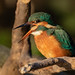 Kingfisher regurgitating a pellet.