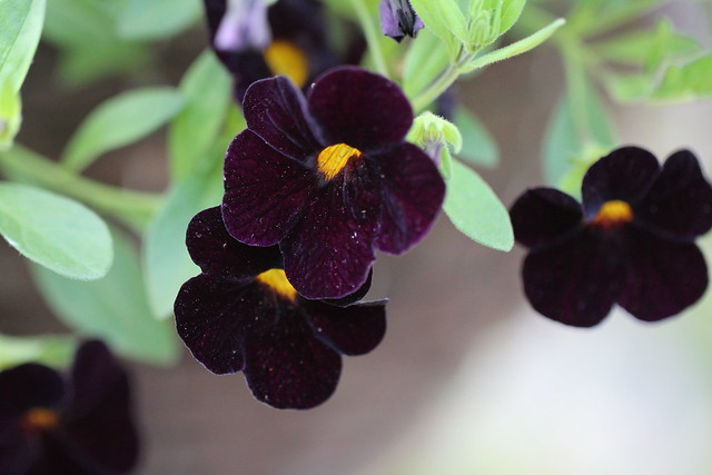 Calibrachoa Black Cherry