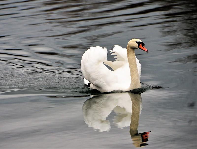 Swan 01.01 (5)