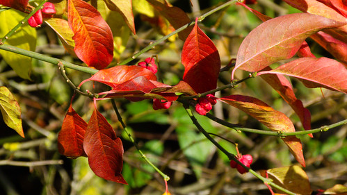 Autumn colours: spindle tree