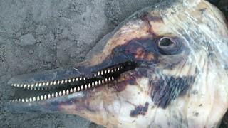 擱淺的白海豚RIP特寫,郭祥廈攝。