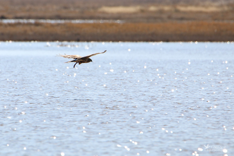 IMG_8015NorthernHarrier
