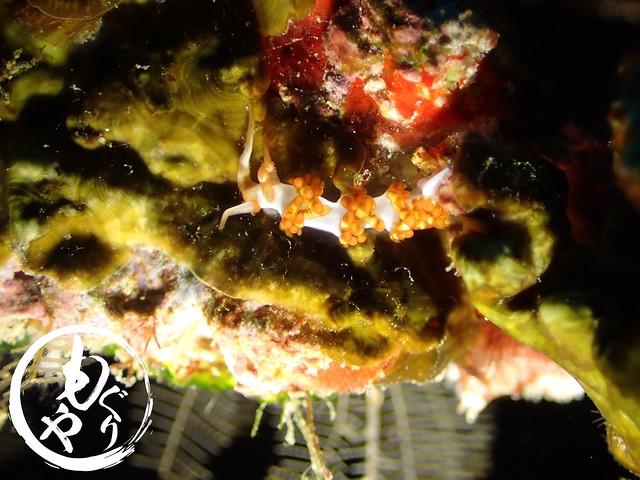 ニイニイミノウミウシ。。。可愛い名前だこと(´-`*)