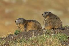 Marmotte autunnali