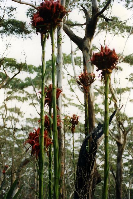 Gymea lilies