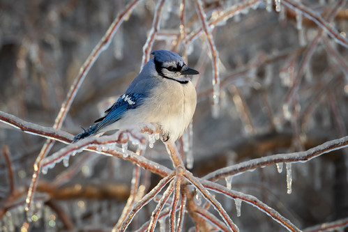 Bluejay in -22 degrees