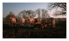 Des vaches #2
