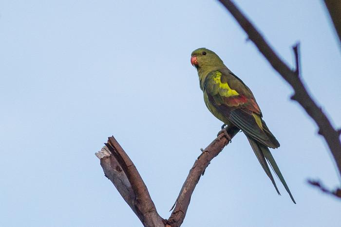 Regent Parrot  - female