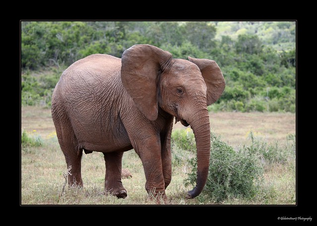 Addo Elephant Park- Afrique, Canon EOS 7D MARK II, Canon EF 300mm f/2.8L IS II USM