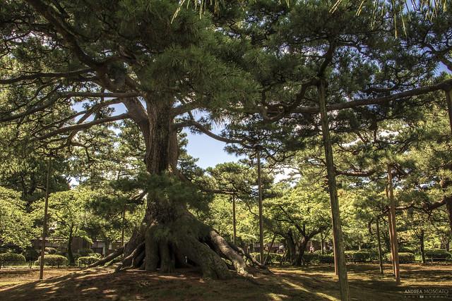 Neagarinomatsu Pine, Kenrokuen Garden - Kanazawa (Japan)