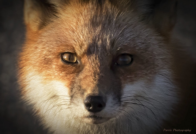 Red Fox Portrait ( Explore 12/18/2018 ), Canon EOS 7D MARK II, Canon EF 300mm f/2.8L IS