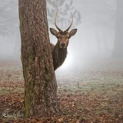 #peekaboo #stag #mist #misty #deer