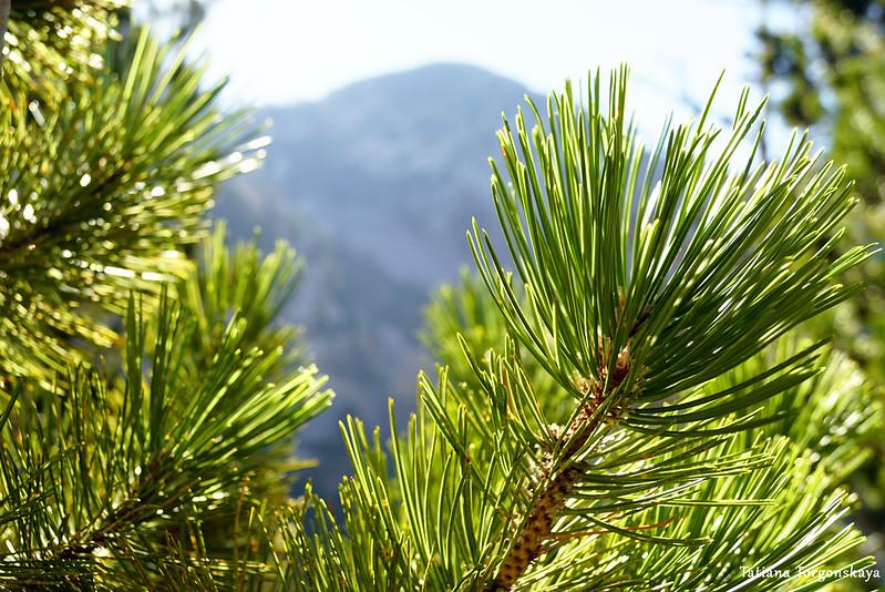 Ветви сосны и горная вершина