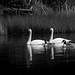 Swans and friends on Cranberry Lake, Deception Pass State Park, Washington.