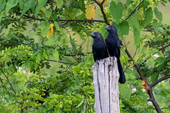 Belize, Pair of Groove-billed Ani