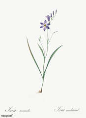 Ixia secunda illustration from Les liliacées (1805) by Pierre Joseph Redouté (1759-1840). Digitally enhanced by rawpixel.
