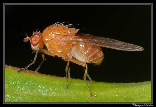 Sapromyza halidayi