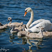 Swanlings at boot camp by GunnarImages (Gunnar Haug)
