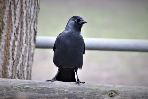 Two fences and a jackdaw