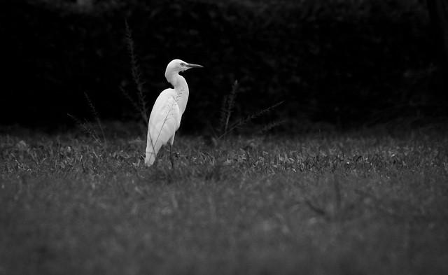 Little egret, Canon EOS 1300D, Sigma 18-250mm f/3.5-6.3 DC OS HSM