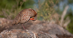Spurfowl Red-necked