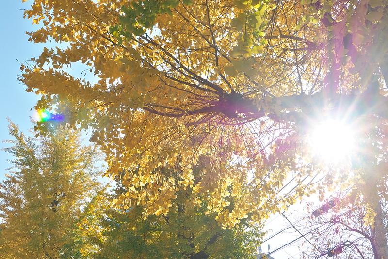 荒川区南千住 素盞雄神社の黄葉