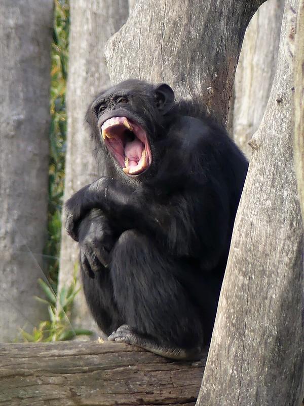 Schimpanse - Zoo Osnabrück