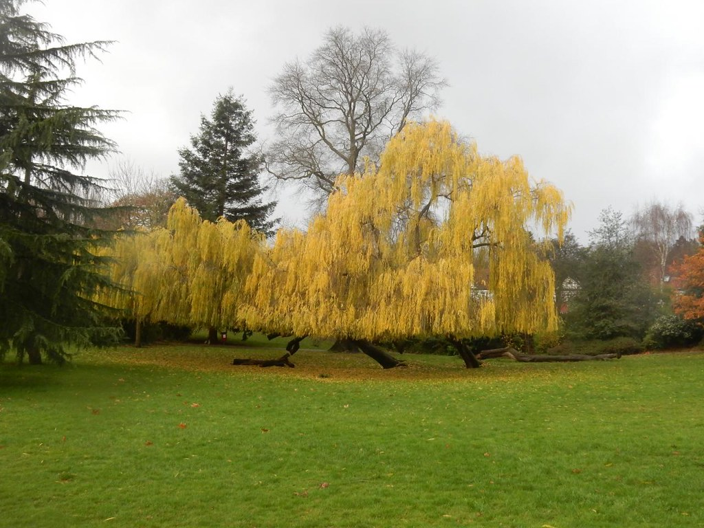 Yellow tree, Sydenham Wells Park Crystal Palace to Forest Hill walk