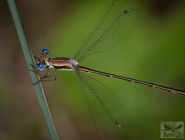 Small Spreading - Lestes virens (Charpentier, 1825)