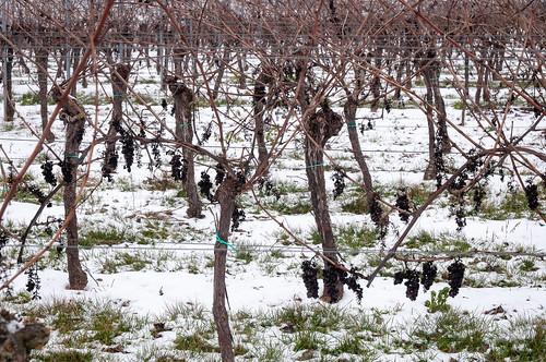 Raisin d'hiver(Scharrachbergheim,France)-102